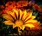Colorful Gazania