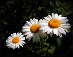Wild Daisies by JocelyneR