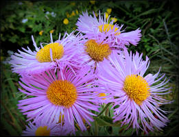 Fluffy Asters by JocelyneR