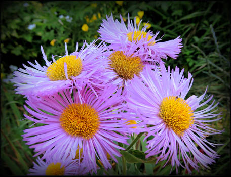 Fluffy Asters