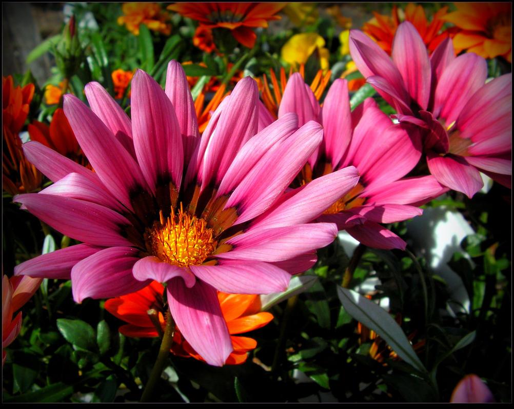 Lovely Pink Flowers by JocelyneR