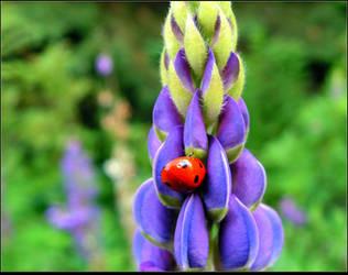 Ladybug On A Blooming Lupine by JocelyneR