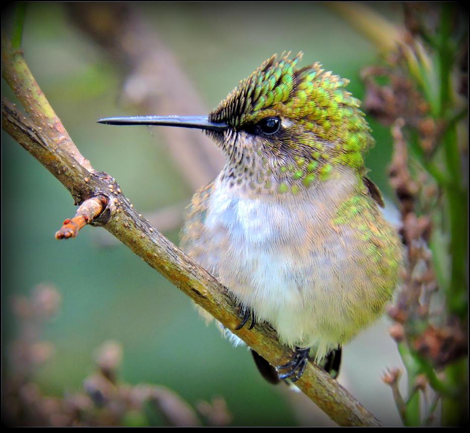 Fluffy Hummingbird by JocelyneR