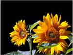 Late Sunflowers by JocelyneR