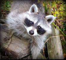Another Orphan Baby Raccoon