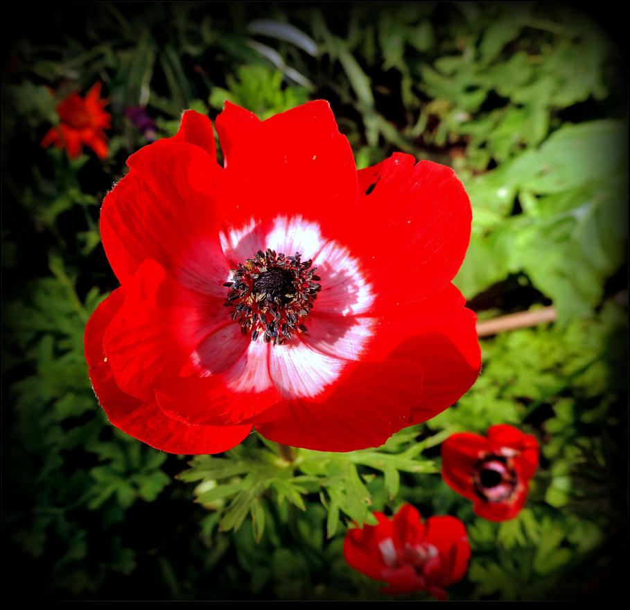anemone in bloom by jocelyner on deviantart. Black Bedroom Furniture Sets. Home Design Ideas