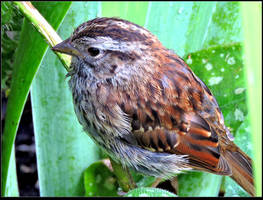 Wet Juvenile White-throated Sparrow