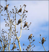 Cedar Waxwings 1