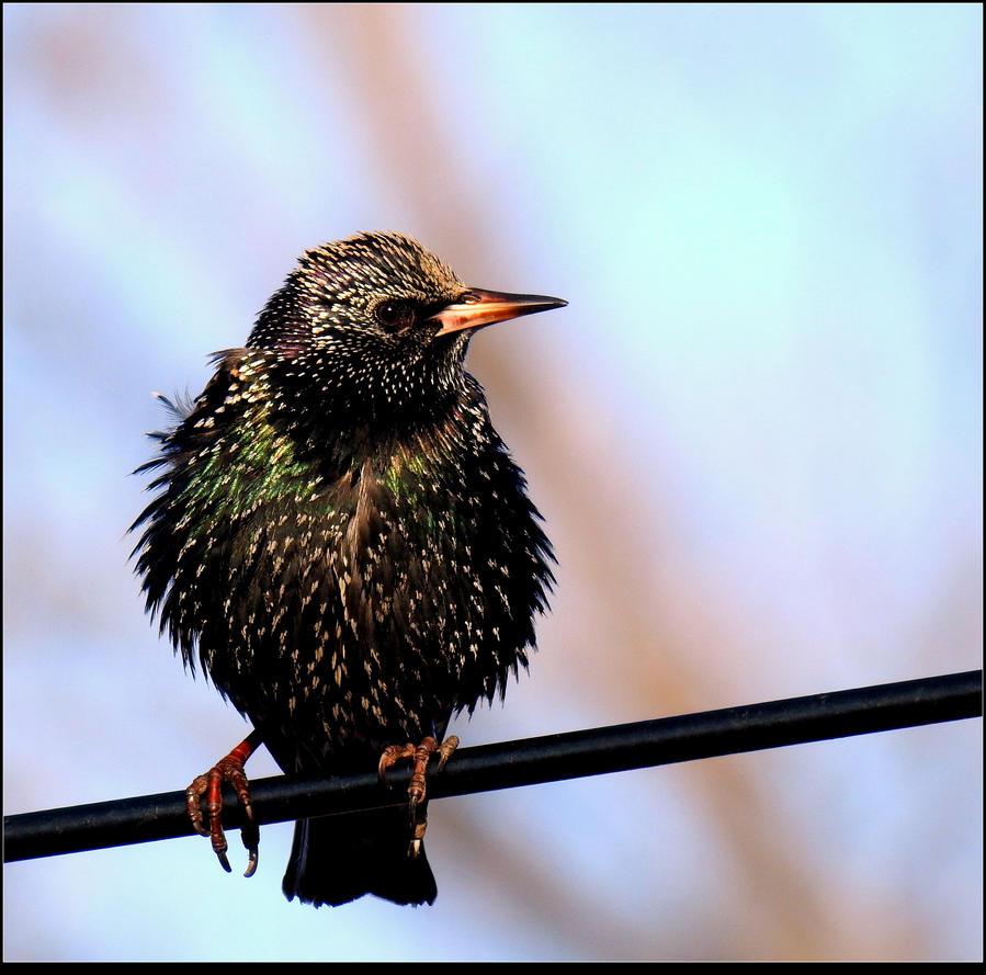 Early European Starling by JocelyneR