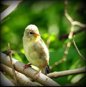 Female Goldfinch by JocelyneR