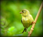 Immature Goldfinch by JocelyneR