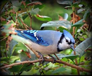 Blue Jay on the by JocelyneR