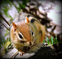 Wary Chipmunk