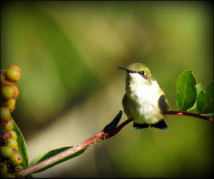 Immature Hummingbird by JocelyneR