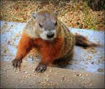 Juvenile Groundhog