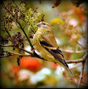 Female American Goldfinch by JocelyneR