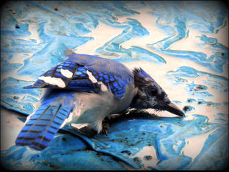 Immature Jay Trying To Drink by JocelyneR