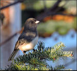 Immature Junco by JocelyneR