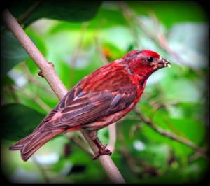 Purple Finch by JocelyneR