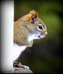 Hungry Squirrel 2 by JocelyneR