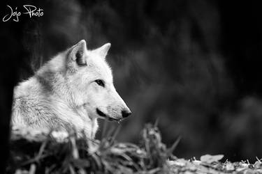 Black and white wolf by thememory666