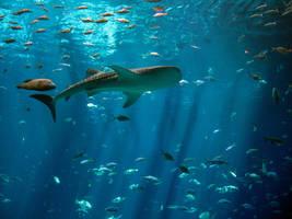 Whale Shark by SarahShots