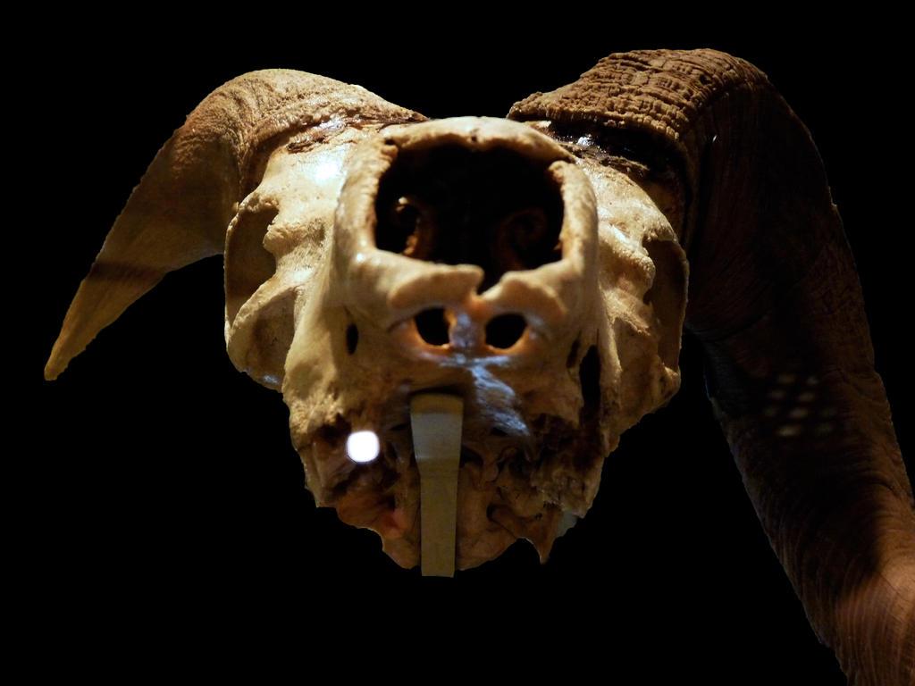 Mountain goat skull - photo#10