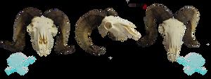 Big horn sheep skull stock