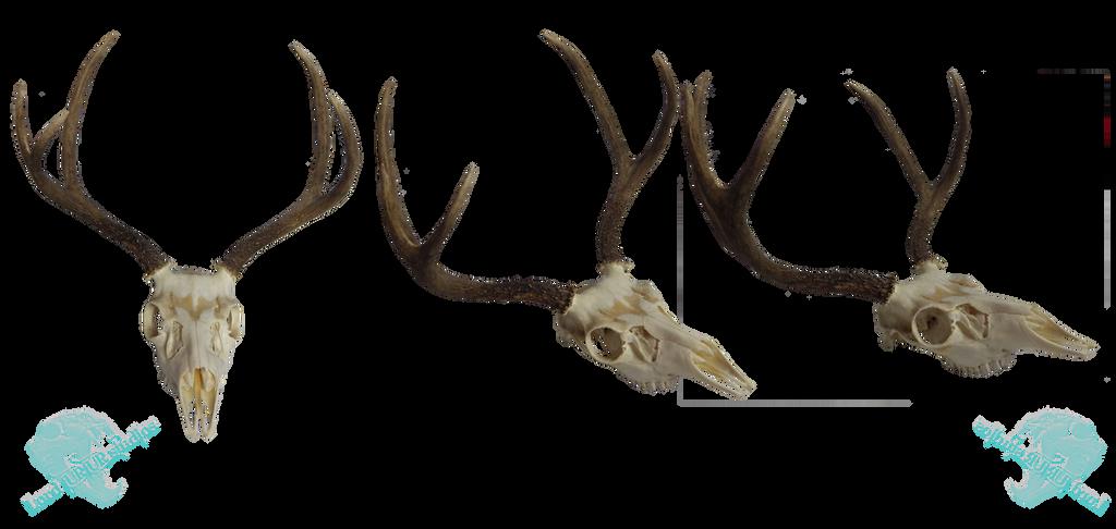 Mule deer skull stock