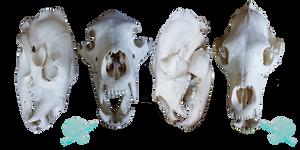 Black bear skull stock