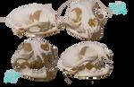 Bobcat skull stock