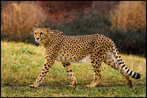 Cheetah walker by Wolfling01