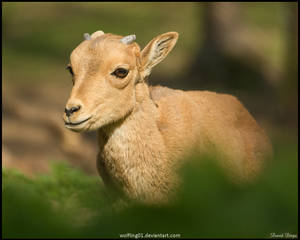 Barbary lamb by Wolfling01