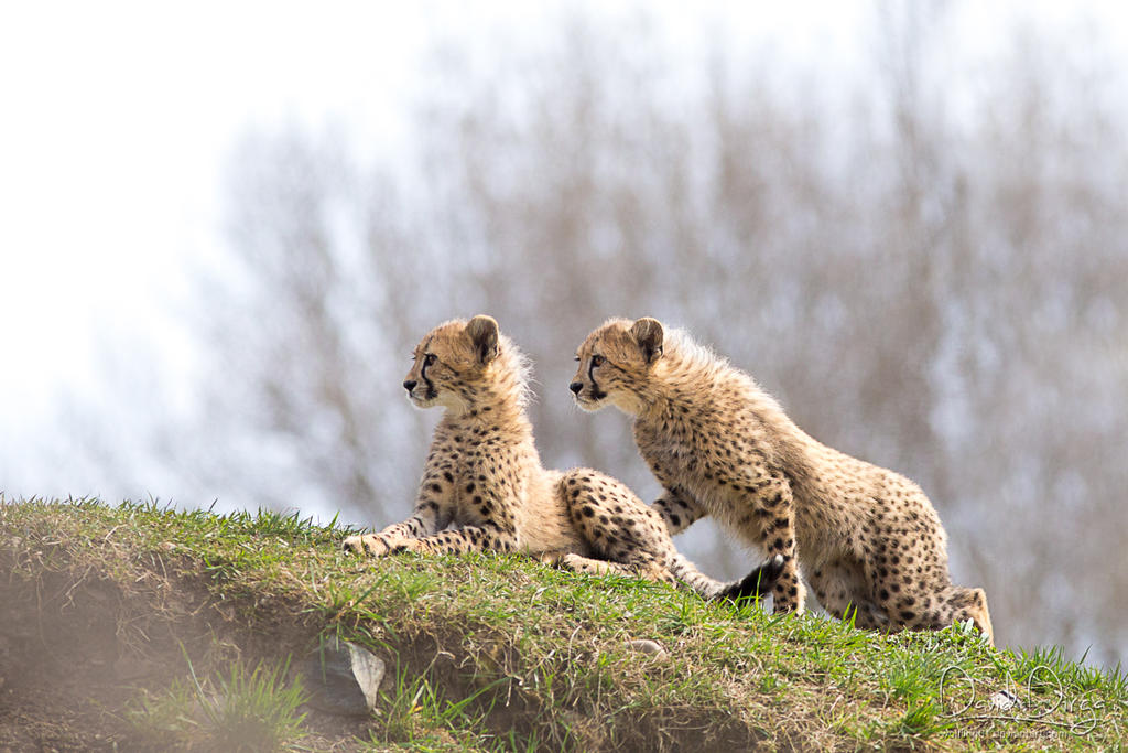 Cheetah cubs by Wolfling01