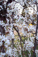 Flower Curtain III by Revolver-Waffle