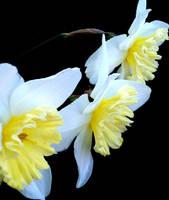 Daffodills by Revolver-Waffle