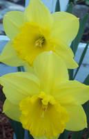 Daffodills 2 by Revolver-Waffle