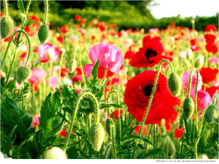 poppy_4 by L-A-B-O