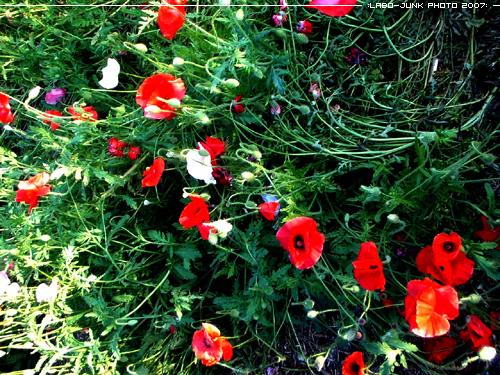 poppy_2 by L-A-B-O