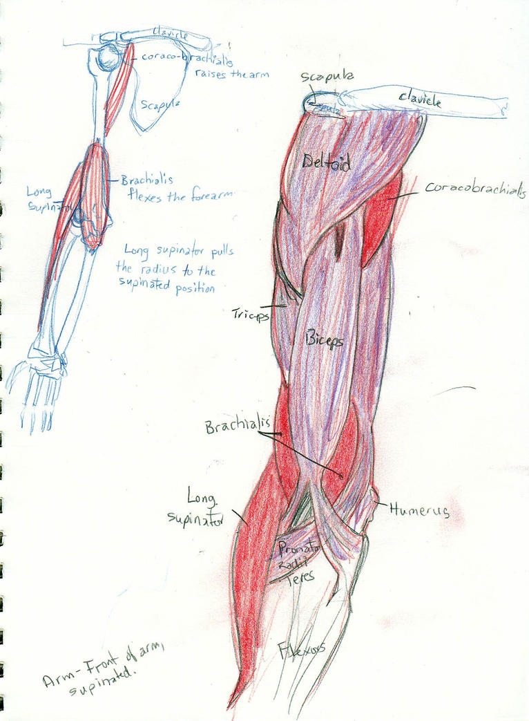 arm anatomy upper arm by rockie-squirrel on DeviantArt
