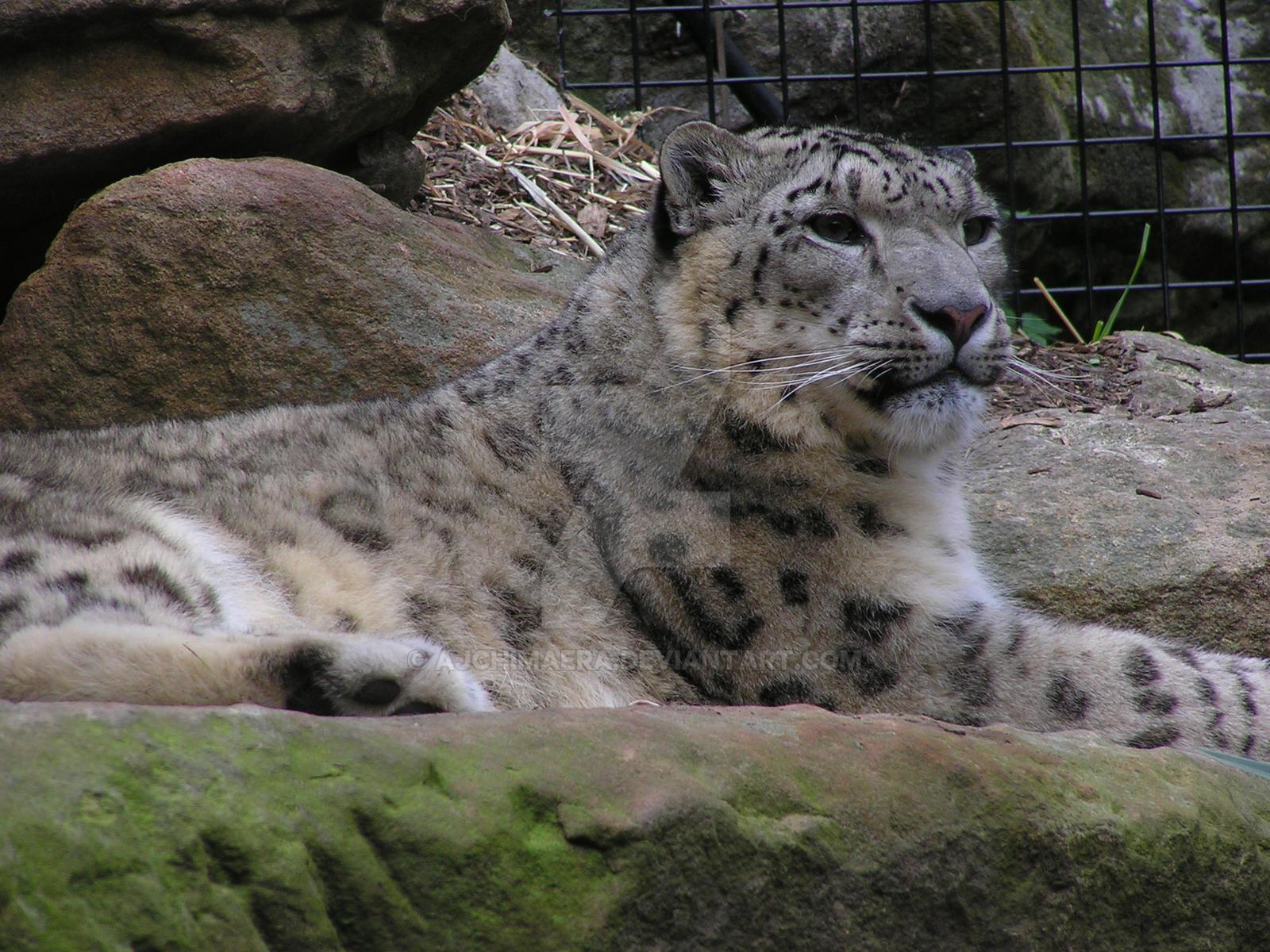 Majestic Leopard by AJChimaera
