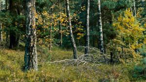 Birken und Kiefern