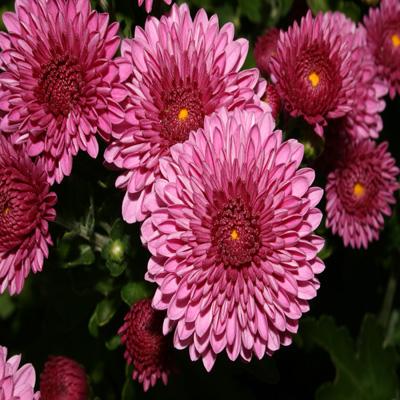 Birth Month Flower November By Brish08 On Deviantart