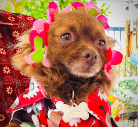 Sakura the dog