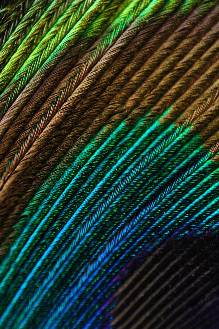 Peacock by Lildaem