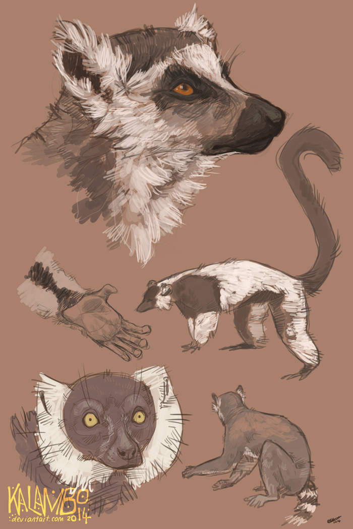 Lemur studies by kalambo