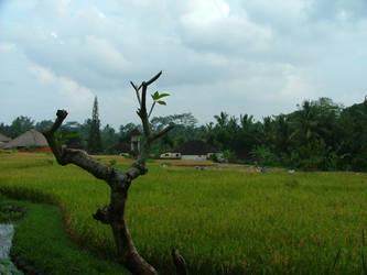 Rice Padi by modeen19