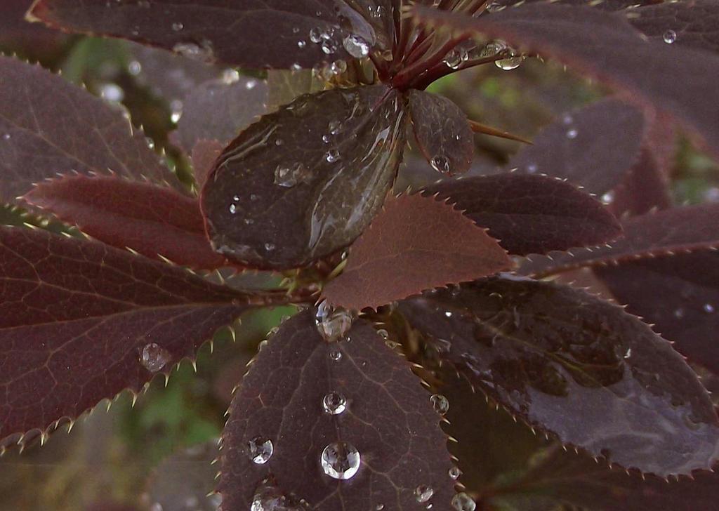 Water Drops On Berberis by net-uash