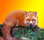 Happy fox by safirediaz