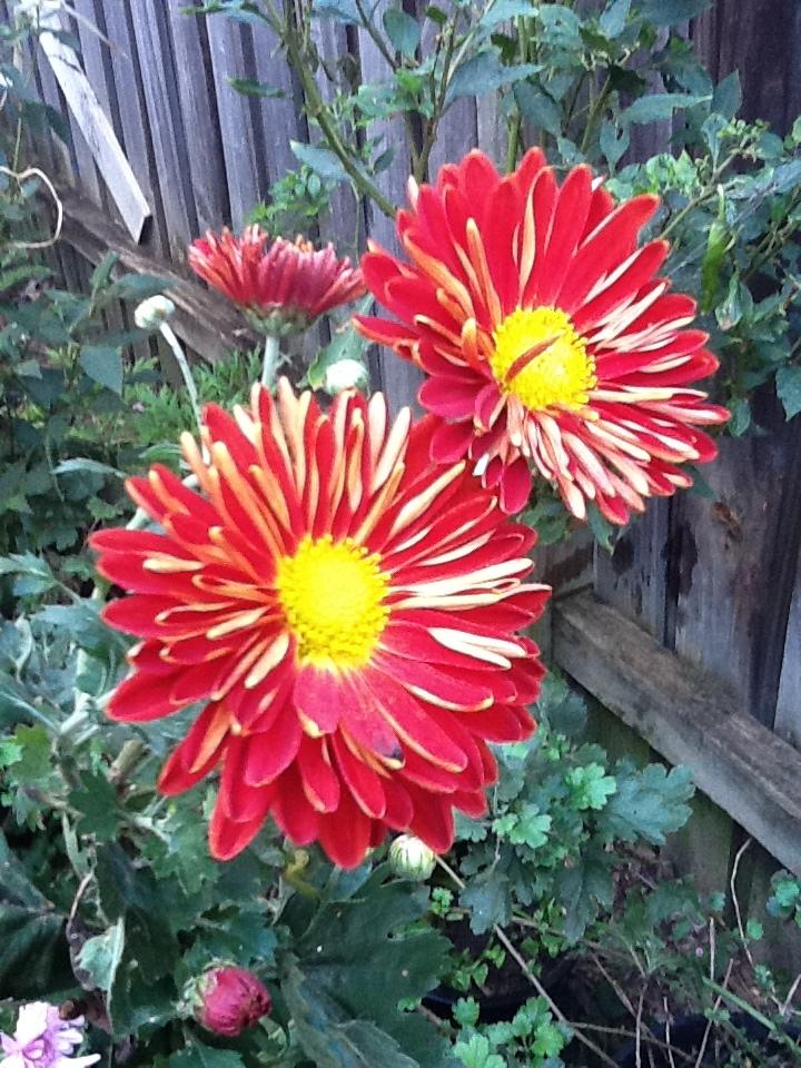 Red Peony Flowers? by safirediaz